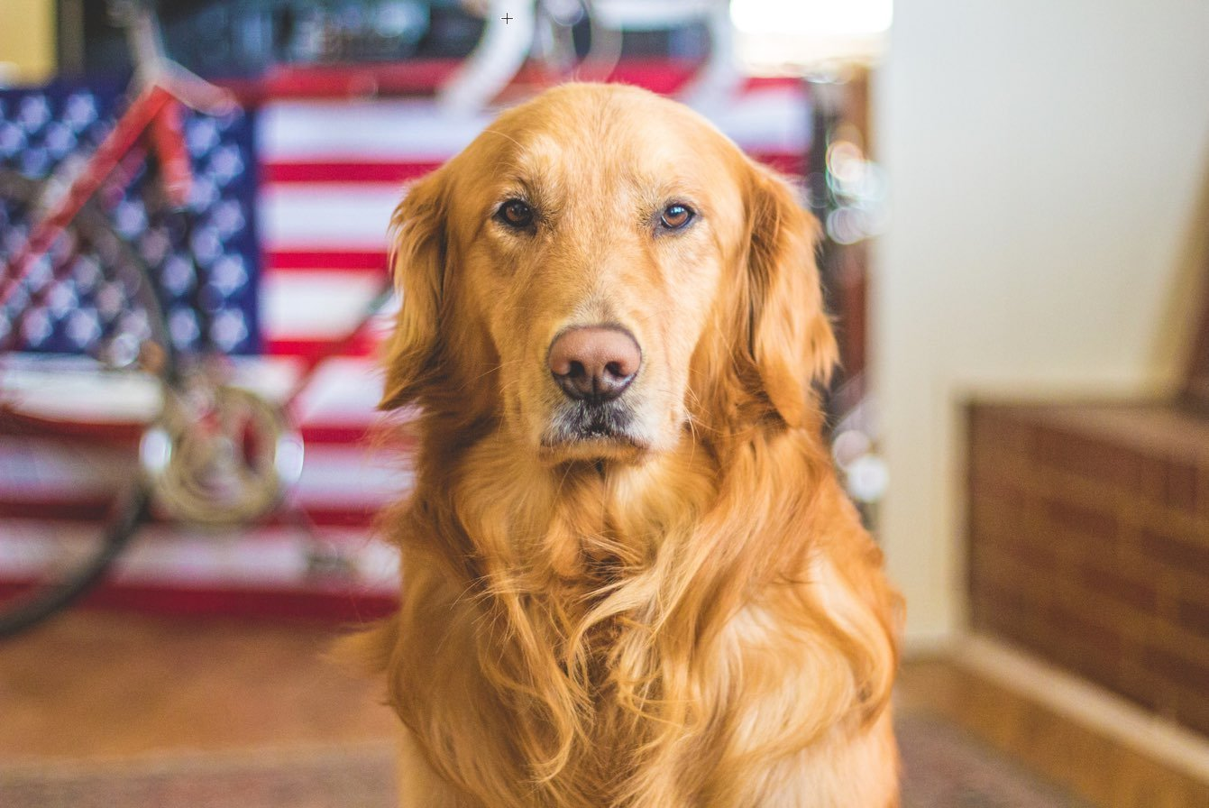 The Top 10 Most Popular Dog Breeds in America